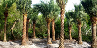 Specimen Trees And Exotic Palms